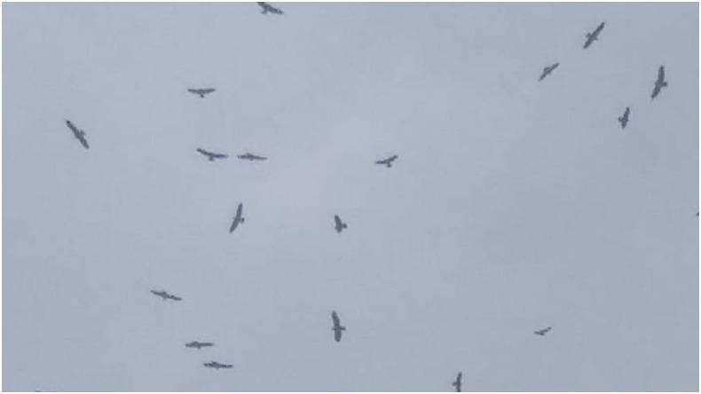 Cerca de 300.000 águilas cuaresmeras han pasado por el Tolima en su regreso a casa