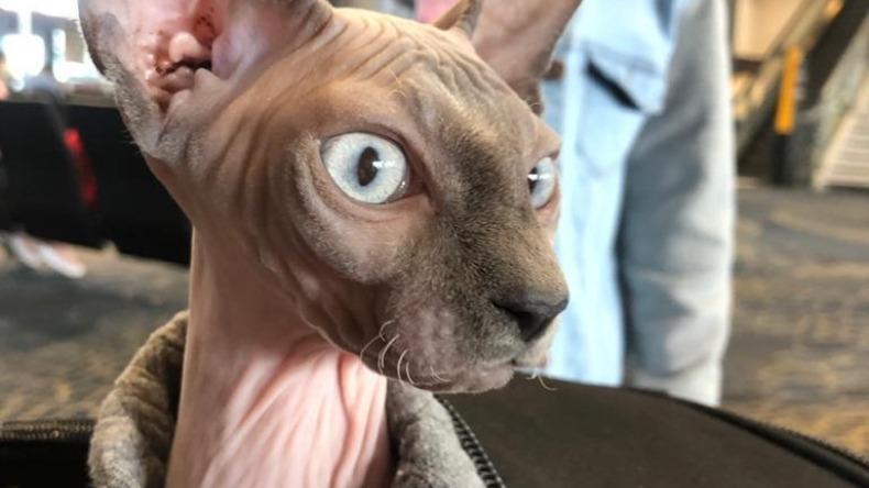 Nilo el gato de raza esfinger