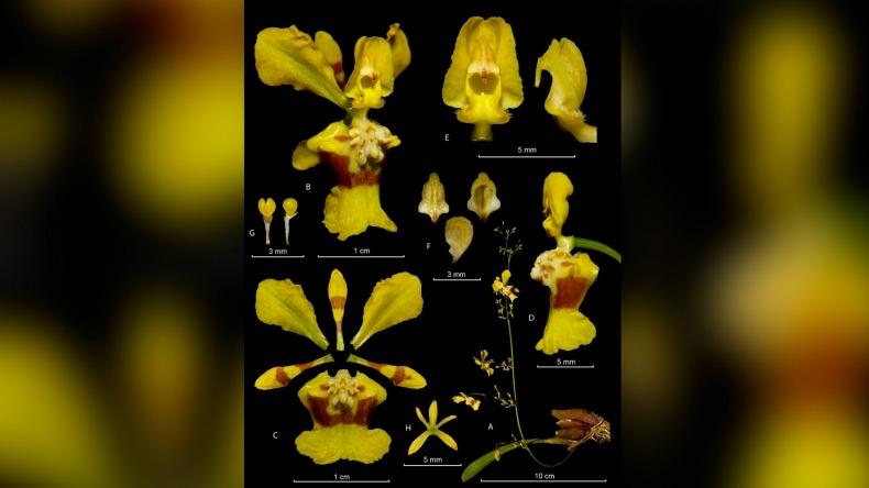 Nueva especie de orquídea fue descubierta en el Tolima por investigadores de la UT