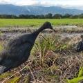 Dos garzas negras fueron liberadas por Cortolima en zona rural de bagué