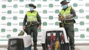 Policía de Ibagué incautó 11 aves silvestres en San Bernardo