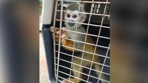 El colmo: mono ardilla bebé era retenido como mascota en hogar de Ibagué