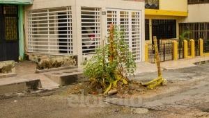 Hasta una planta de tomate creció en un hueco del barrio Calarcá de Ibagué