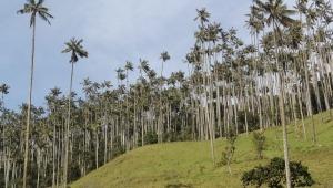 Cortolima realizará controles para evitar el uso de palma de cera en iglesias el domingo de ramos