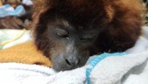 Expertos de Cortolima hallaron nueve balas de escopeta en el cuerpo de un mono aullador
