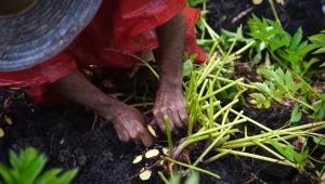 La harina de arracacha, el nuevo tesoro de la agricultura en Cajamarca