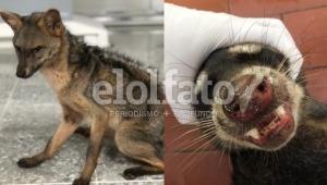 Zorro y mapache con moquillo
